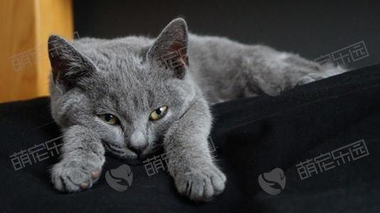 卡尔特猫和英短有什么不同?